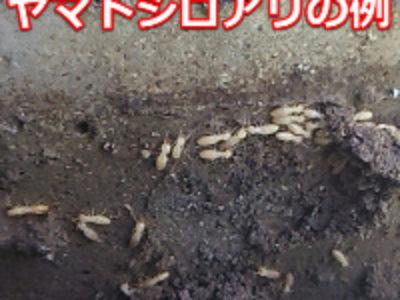 岐阜のシロアリの対象種はヤマトシロアリ 予防や駆除しやすい